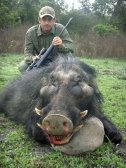 Giant Forest Hog