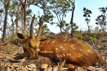 Harnessed Bushbuck